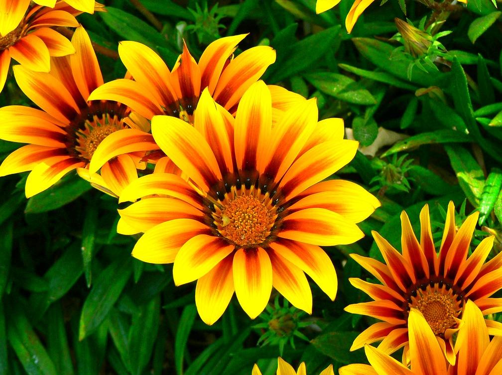 названиями садовые цветы картинки с