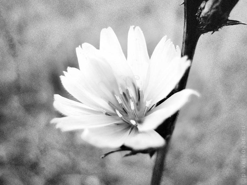 фото цветок черно белый: