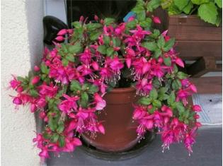 Фото и описание цветов в горшках 12