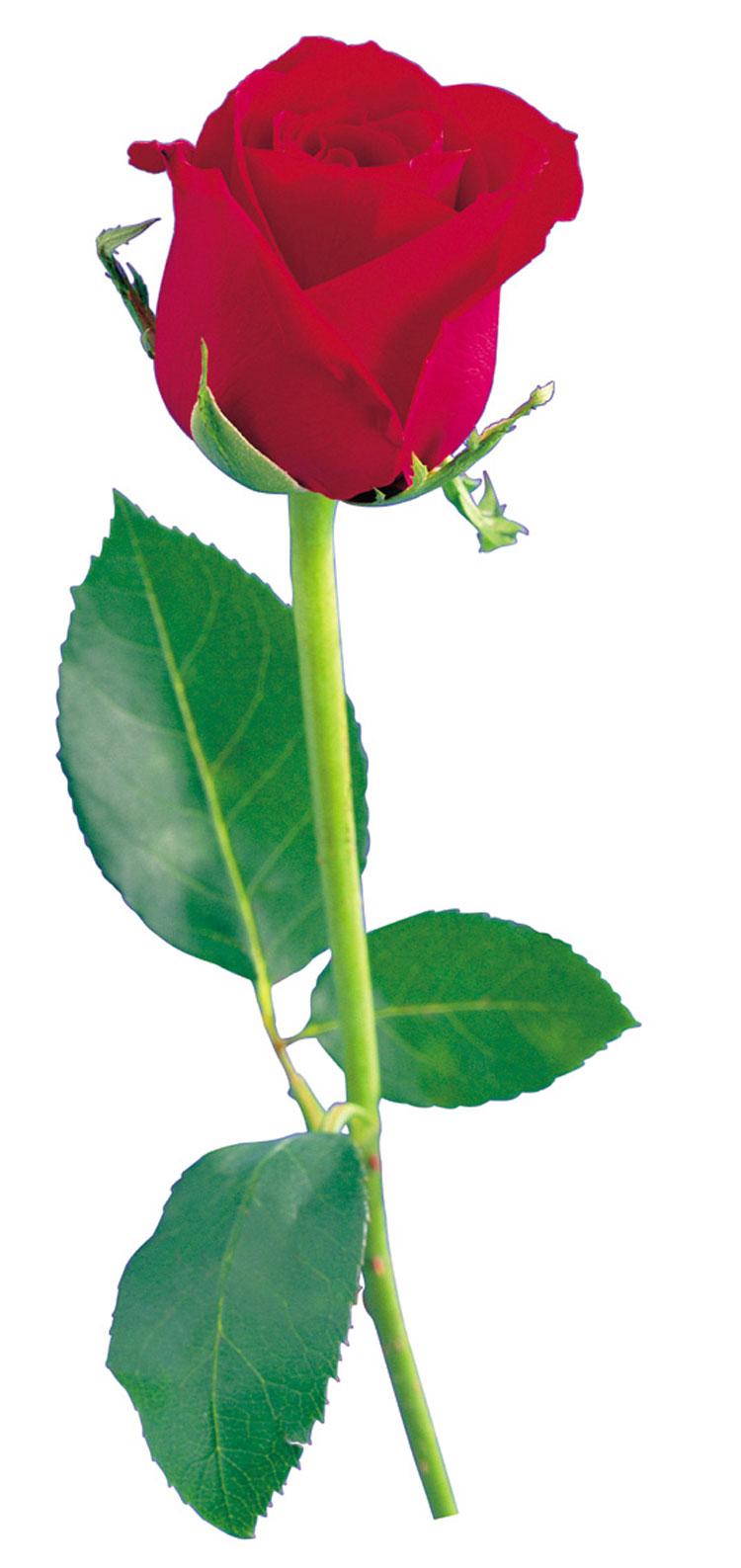 Цветок перовския фото посадка и уход в цветнике  Сайт о