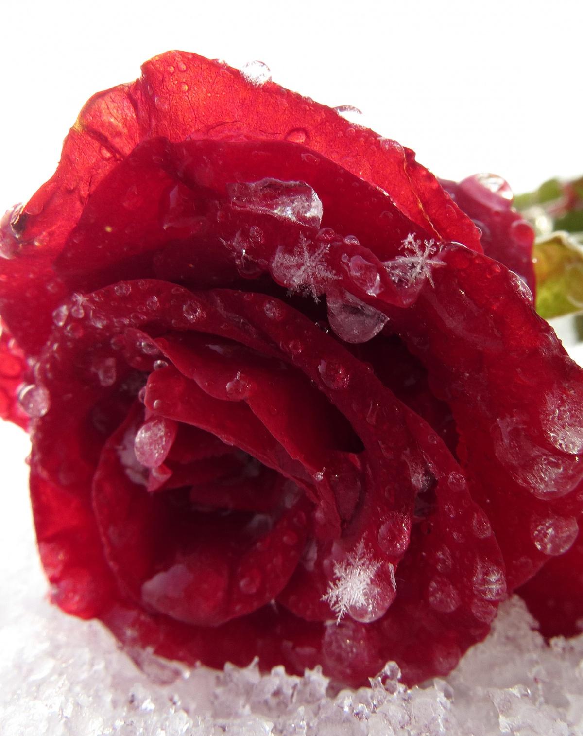 Розы на фото лучшие картинки красивых цветов роз - bf83