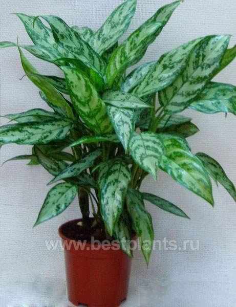 Названия картинки комнатных цветущих растений 6