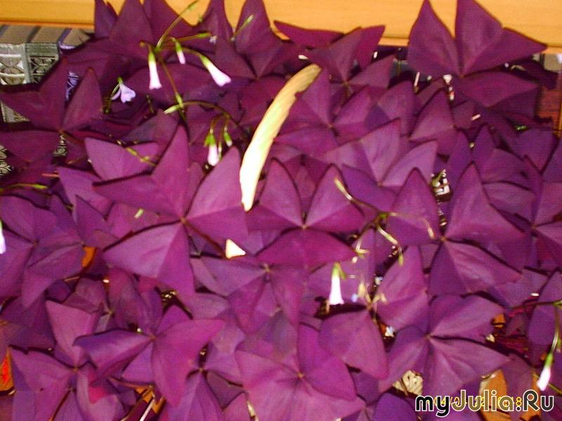 Бабочки цветок как называется