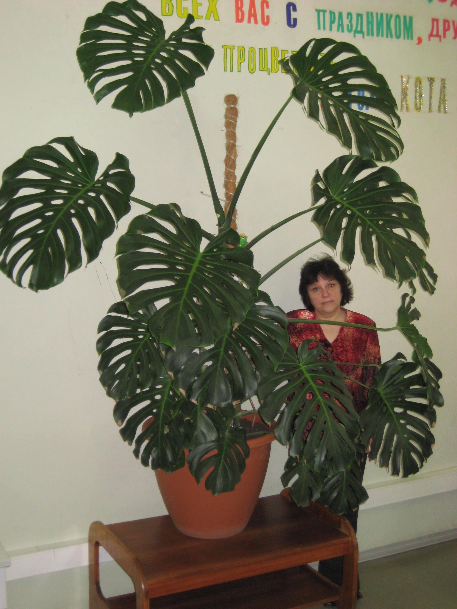 Ядовито ли растение монстера фото 8
