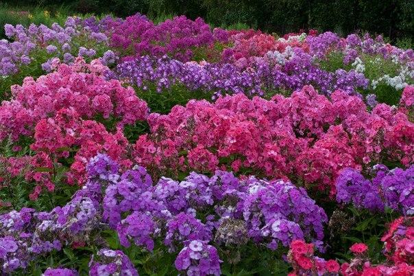 пионы садовые фото