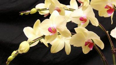 Орхидея картинки