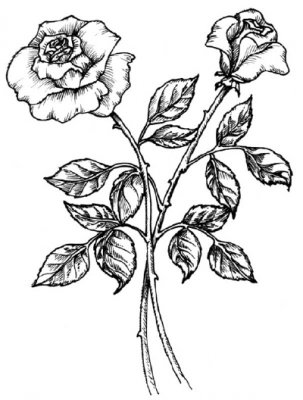 Как нарисовать розу поэтапно с картинками