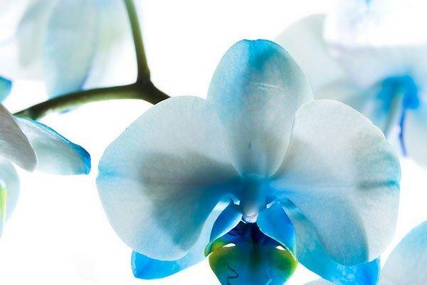 Синяя орхидеи - фото, картинки
