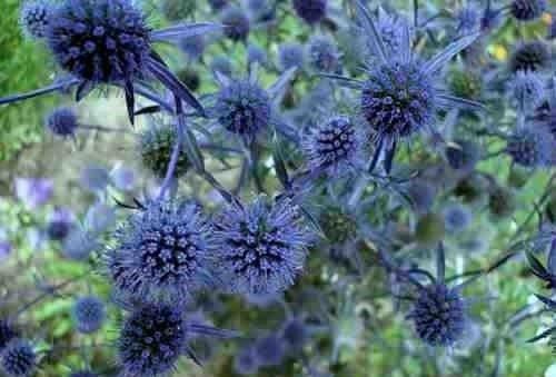 Эрингиум цветов