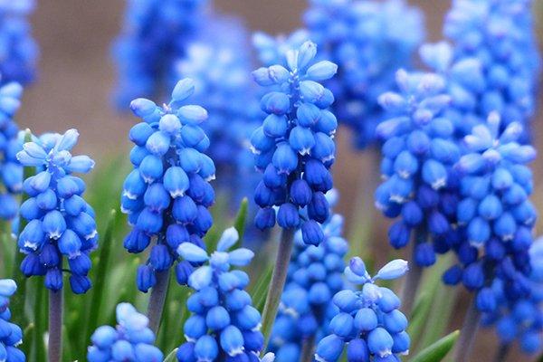 Цветы мускари - фото