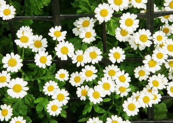 Матрикария цветов