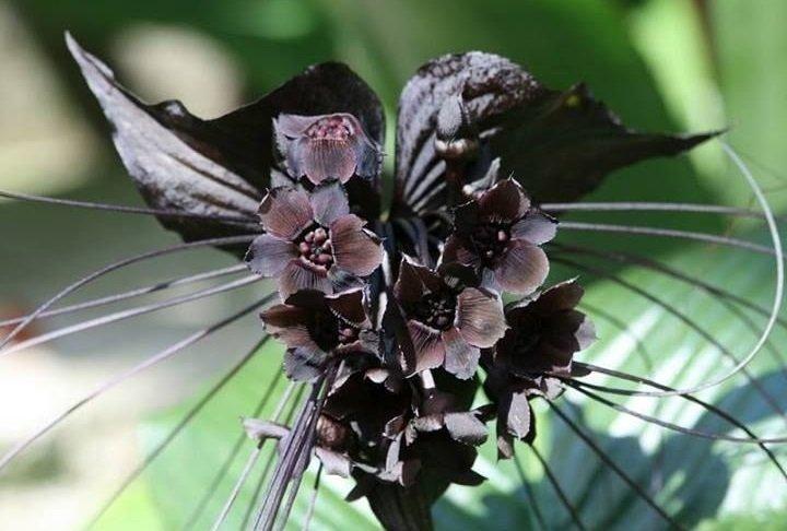 Цветок дьявола цветок