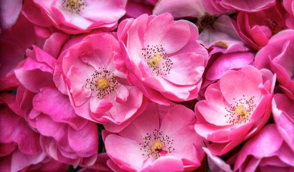 Розовые обои для рабочего стола